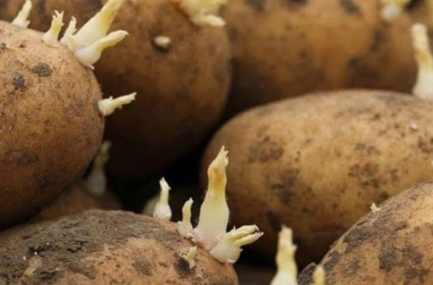 Держпродспоживслужба м.Добропiлля: як правильно зберігати картоплю на посадку