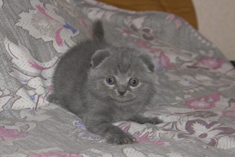 британские котята вислоухие и прямоухие