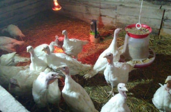 Инкубационные яйца разных видов птицы (кури, утки, гуси, индюки) из Венгрии. Выход 86%